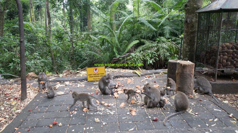 Ubud Long-Tailed Gray Monkeys